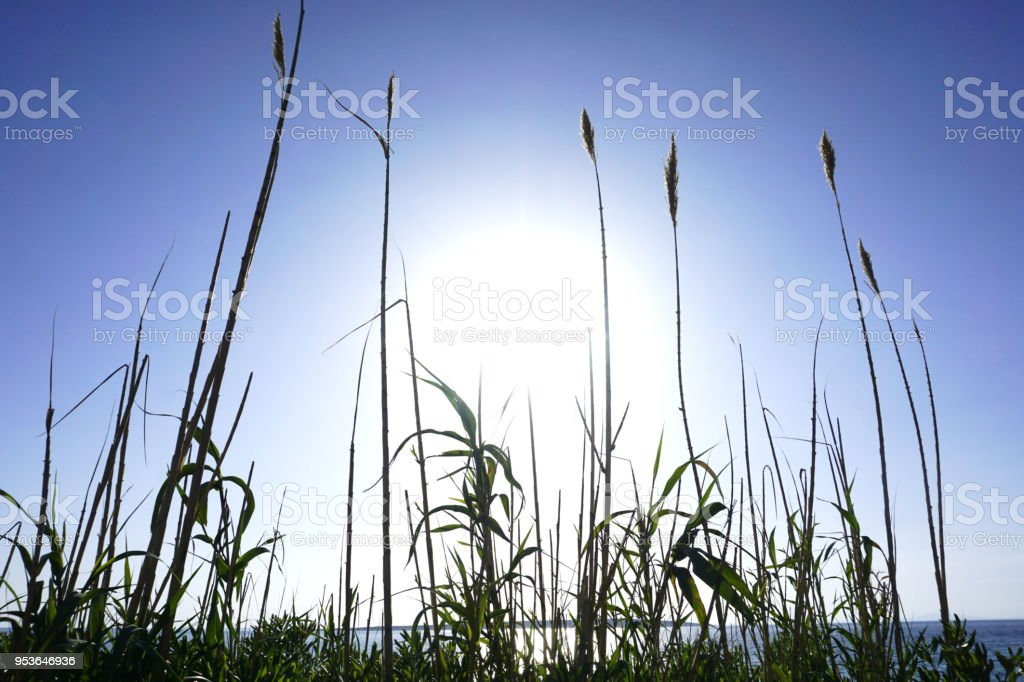 Sky and sea in royal blue color and the rays of big sun pass through the big reed grass. Beautiful seascape background stock photo