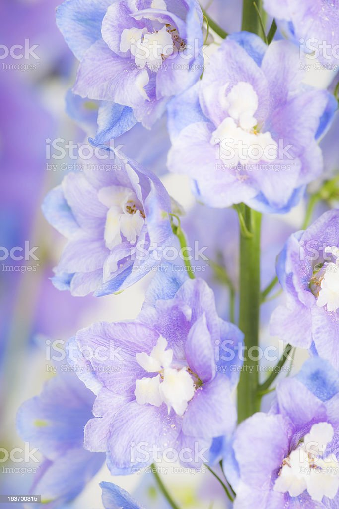 Sky Blue Delphinium royalty-free stock photo