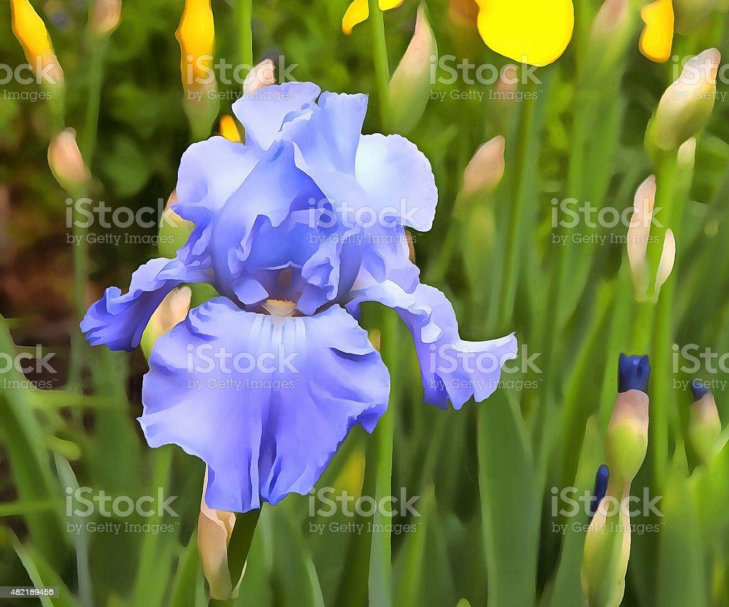 Sky Blue Iris stock photo