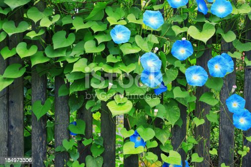 Fence with beautiful blue morning glories.