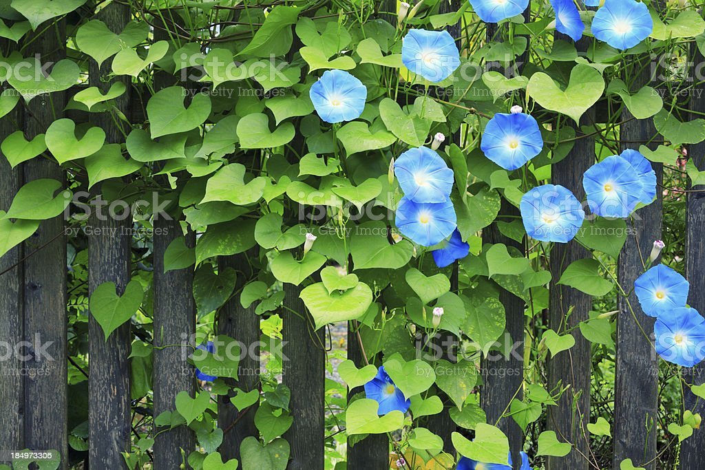 Sky Blue Morning Glories On Fence stock photo