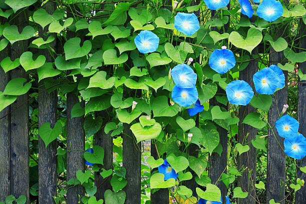 sky blue morning glories on fence - carpel bildbanksfoton och bilder