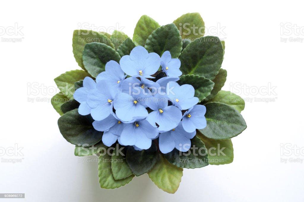 Sky Blue Saintpaulia African Violet Flower In Pot From Above Symbol