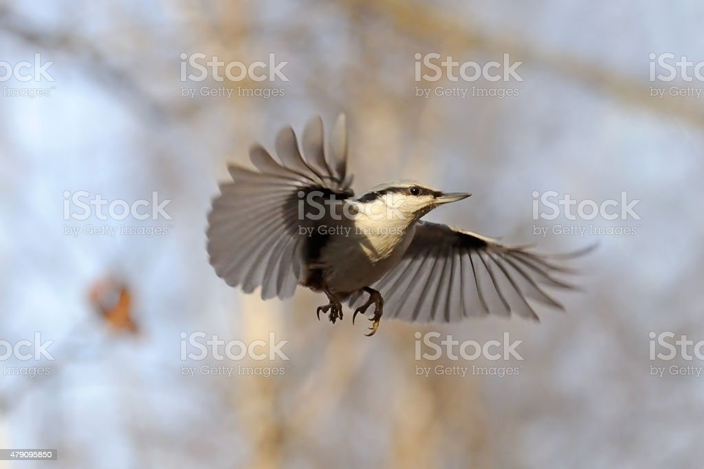 Skydiver-like flying Nuthatch stock photo