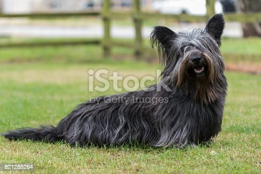 Portrait of a rare Skye Terrier sitting in a field looking at the camera