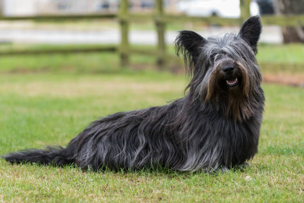 Skye Terrier sitting in field Portrait of a rare Skye Terrier sitting in a field looking at the camera isle of skye stock pictures, royalty-free photos & images