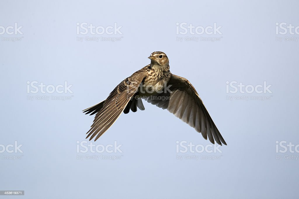 Skylark Alauda Arvensis in flying in a clear, blue, sky stock photo