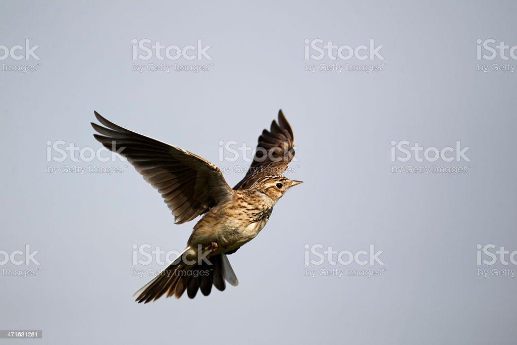 Skylark, Alauda arvensis stock photo