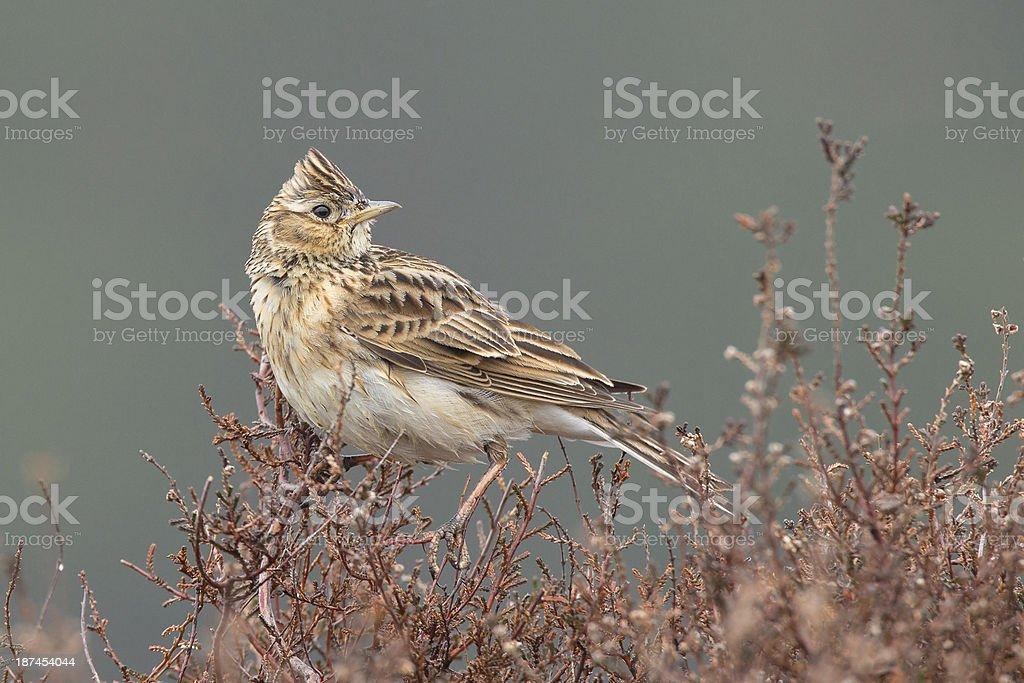 Skylark (Alauda arvensis) in the heather. stock photo