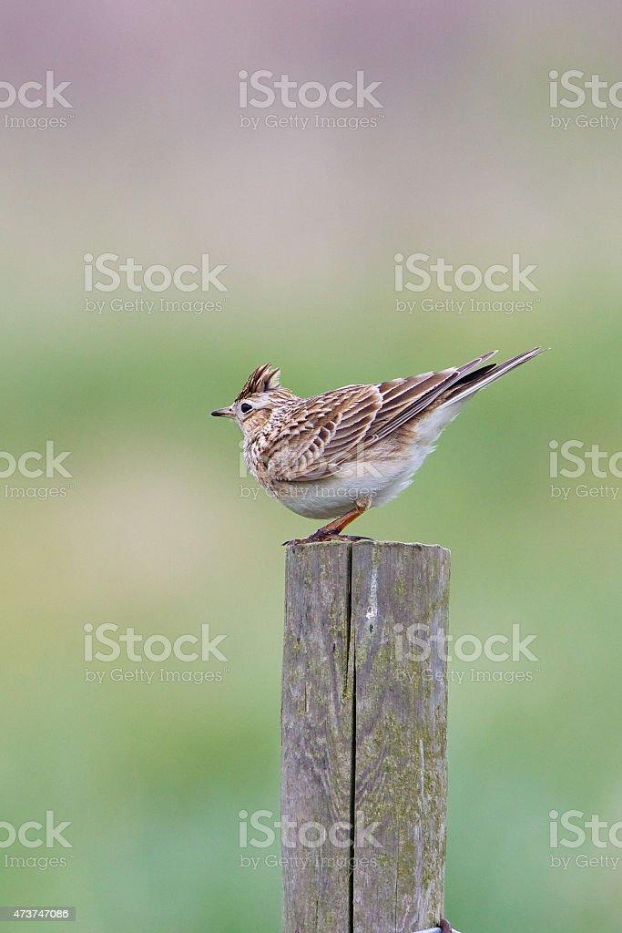 Skylark perched on fence post stock photo