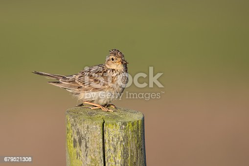 istock Skylark perched on fence post 679521308