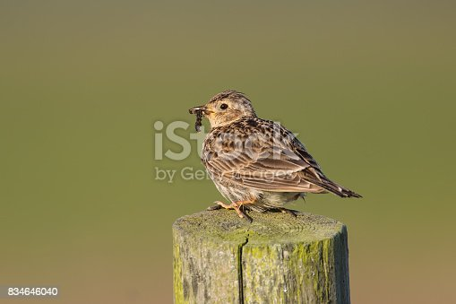 istock Skylark perched on fence post 834646040