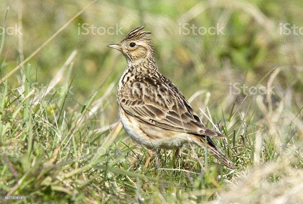 Skylark (Alauda arvensis) stock photo