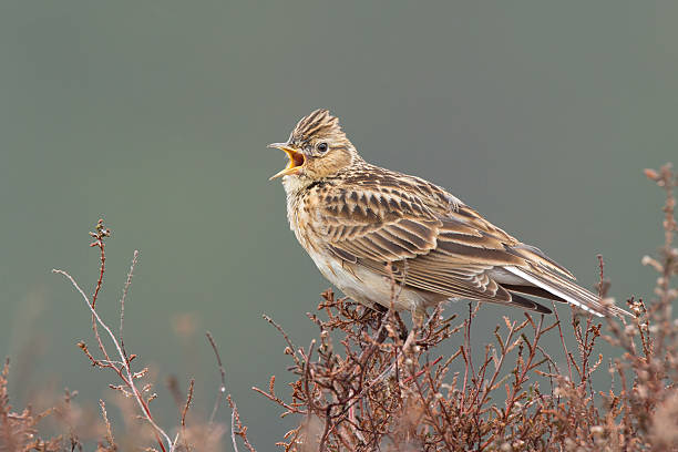 Skylark (Alauda arvensis) singing on the heather. Skylark (Alauda arvensis) singing on the heather. animal call stock pictures, royalty-free photos & images