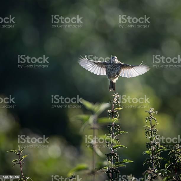 Skylark take off to flight from nettle picture id545783290?b=1&k=6&m=545783290&s=612x612&h=efpyadqoyw4dlvxakgvilsmtxelykty7aaxsojvnvdw=