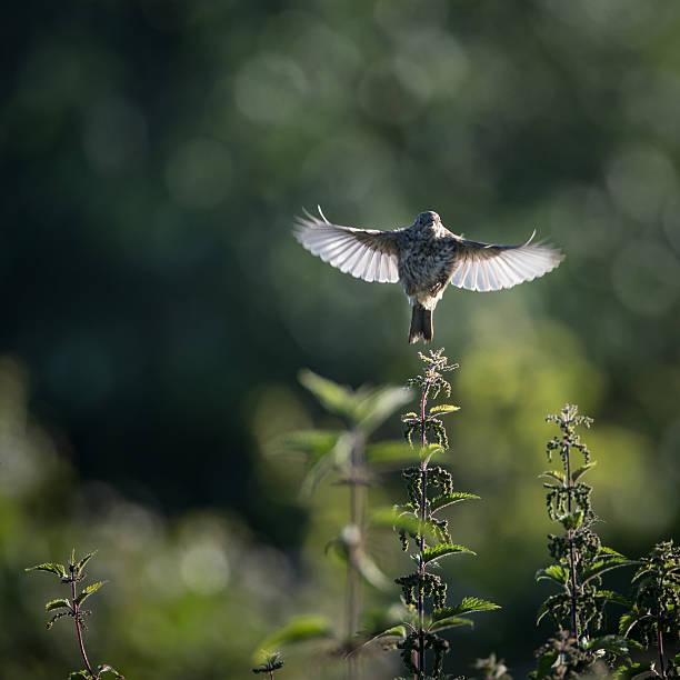 Skylark take off to flight from nettle (Alauda arvensis) stock photo