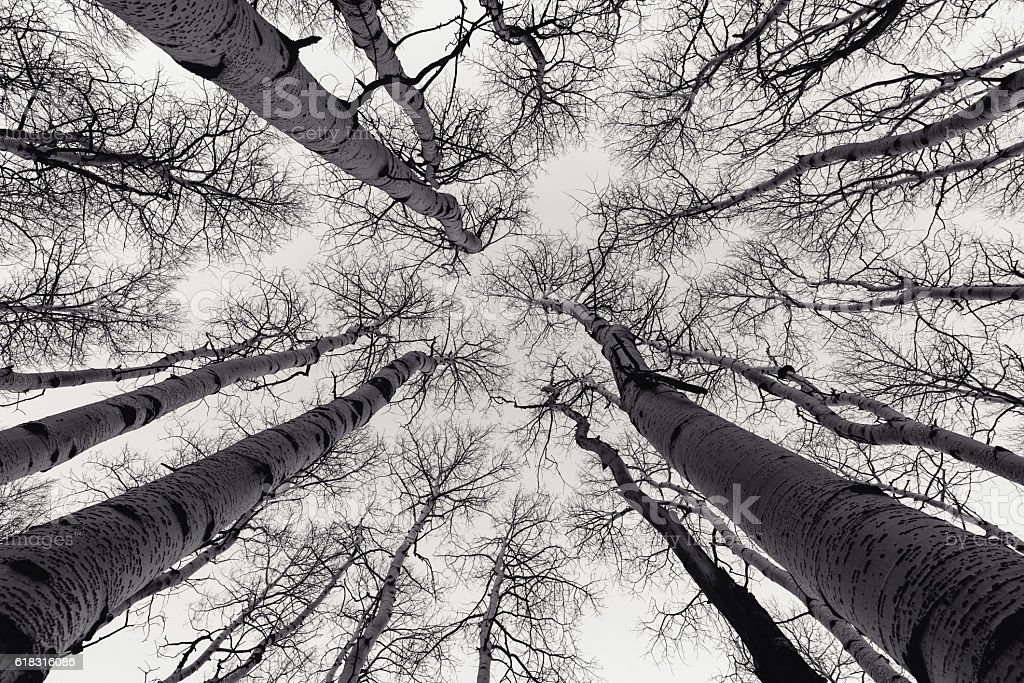 Skyward Aspen Grove stock photo