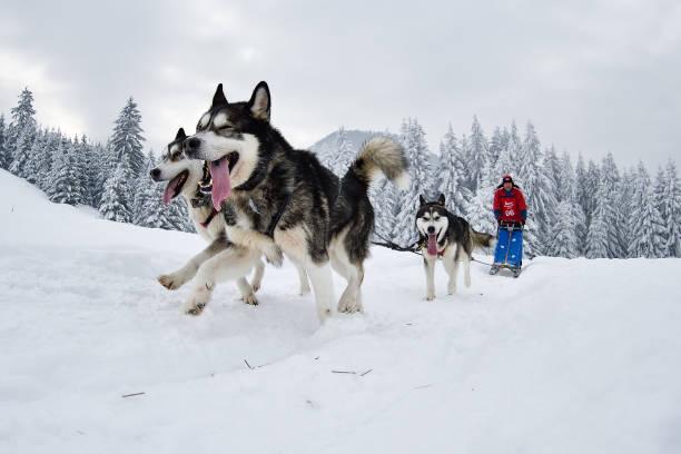 Slad dogs race Slad dog race, Tusnad, Romania, 2018 sled dog stock pictures, royalty-free photos & images