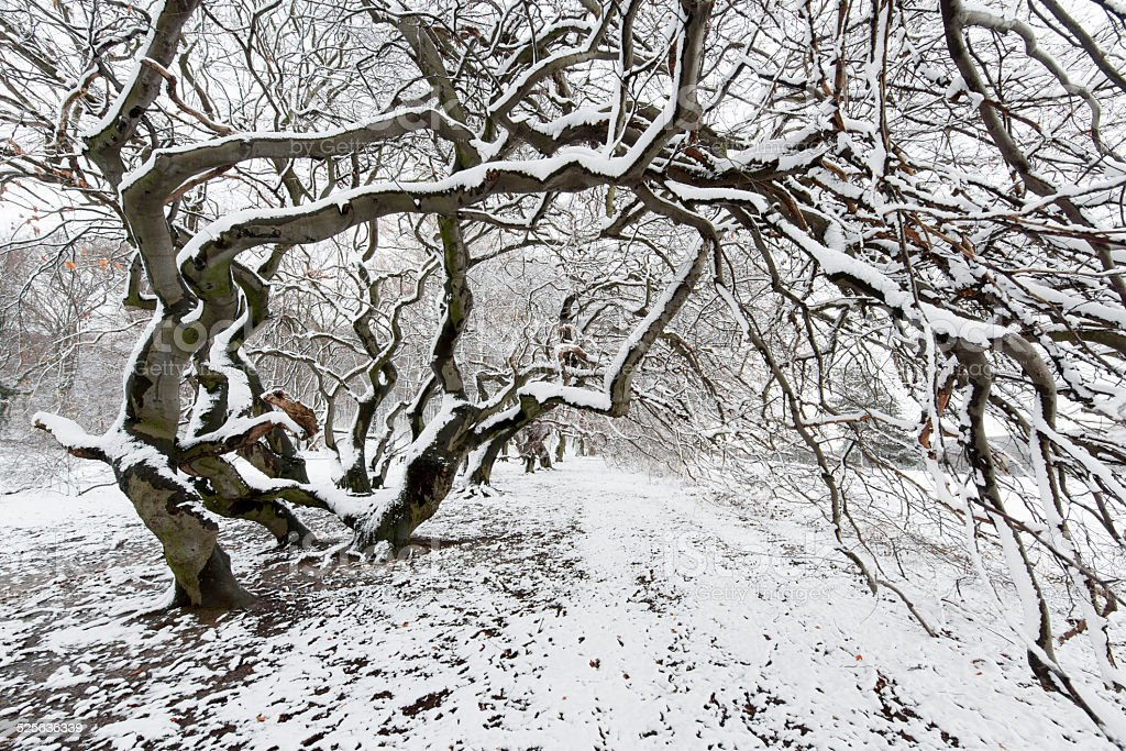 Slanted beech tree with twisted twigs in snow stock photo