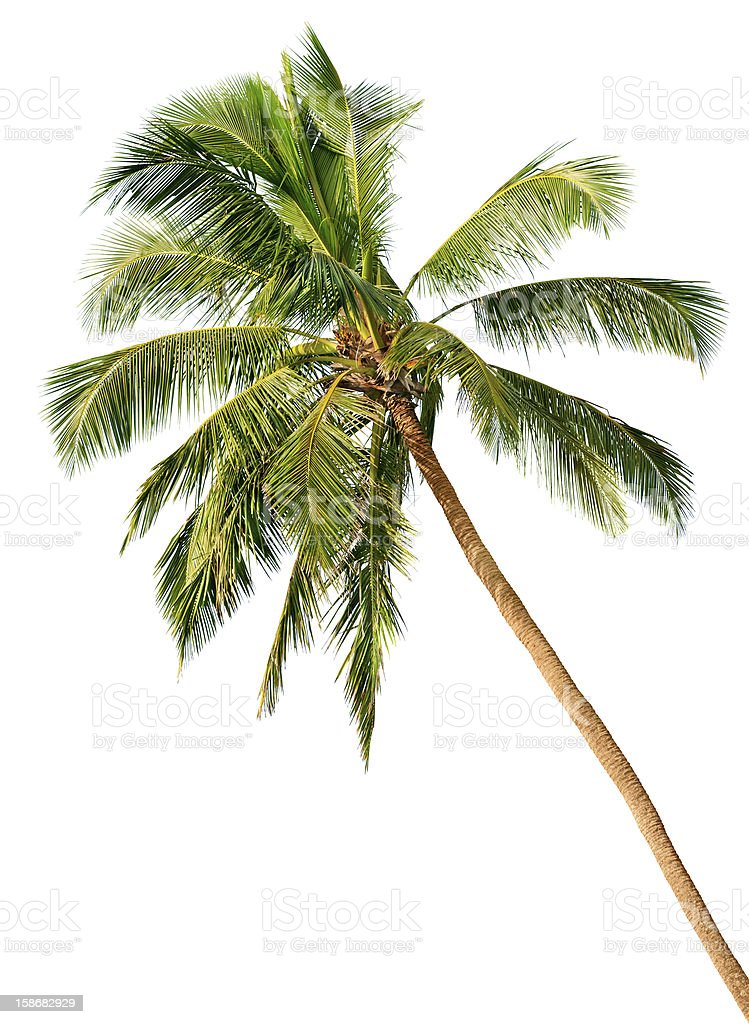 Slanted palm tree isolated on a white background stock photo