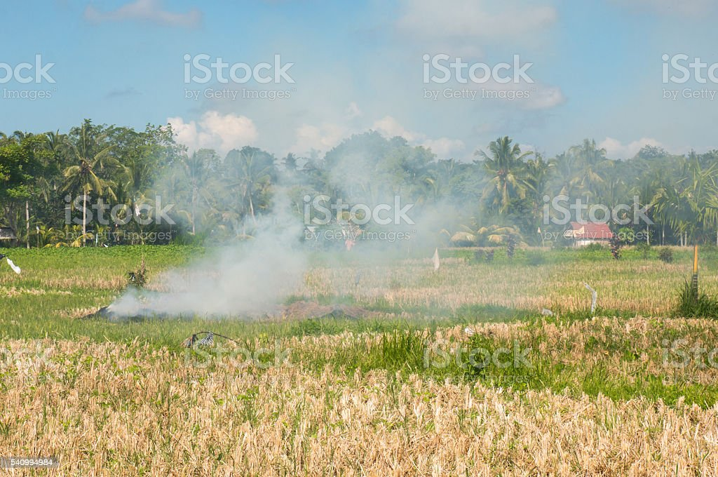 Slash and Burn on a Ricefield in Ubud, Bali stock photo