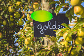 hanging on an apple tree, a slate board indicates the variety of Golden apple