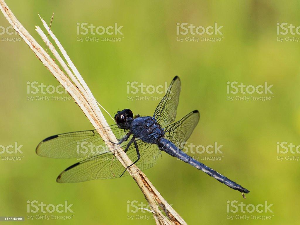 slaty blue skimmer, Libellula incesta, dragonfly royalty-free stock photo