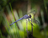 A slaty skimmer dragonfly pauses on a bush in a lakeside stand of plants and bushes
