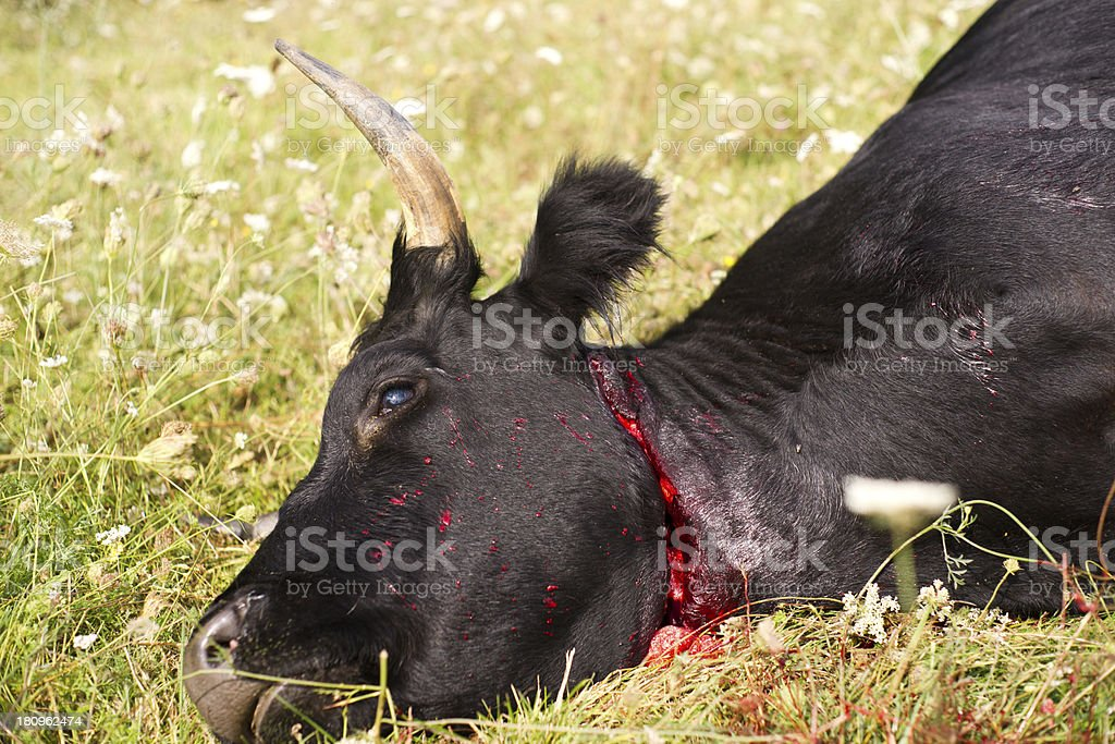 Slaughtered cow amongst flowers. royalty-free stock photo
