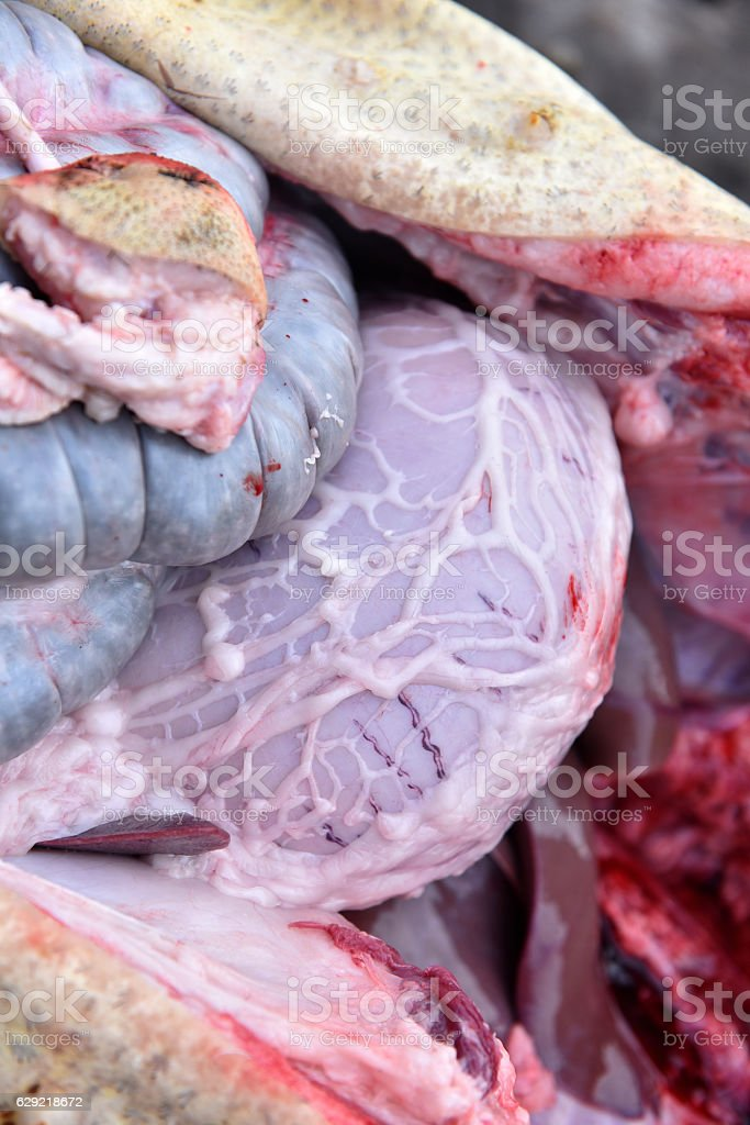 Slaughterman cutting off the chitterlings of a pig stock photo