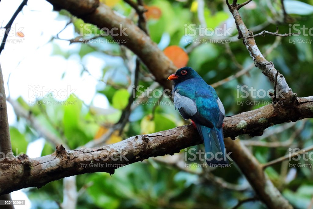 Slay-tailed Trogon is sitting in a tree, Costa Rica.