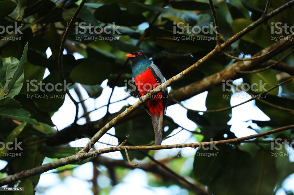 Slay-tailed Trogon sitting on a branch, Costa Rica