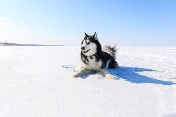 Sled dog on the frozen bay
