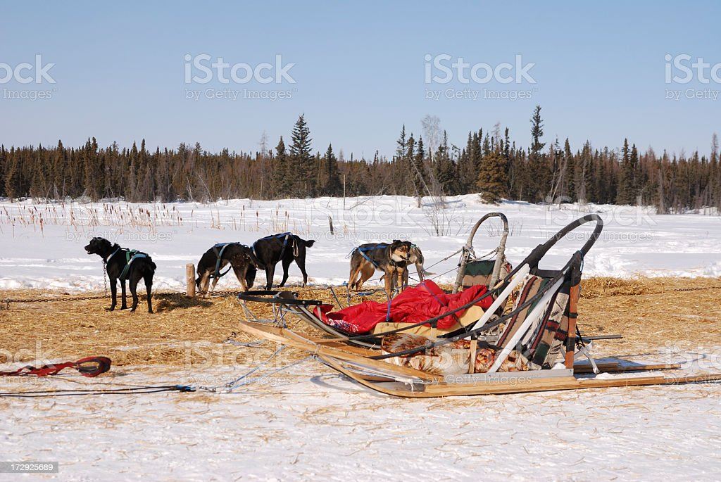 Sled Dogs at Rest, Yellowknife. royalty-free stock photo