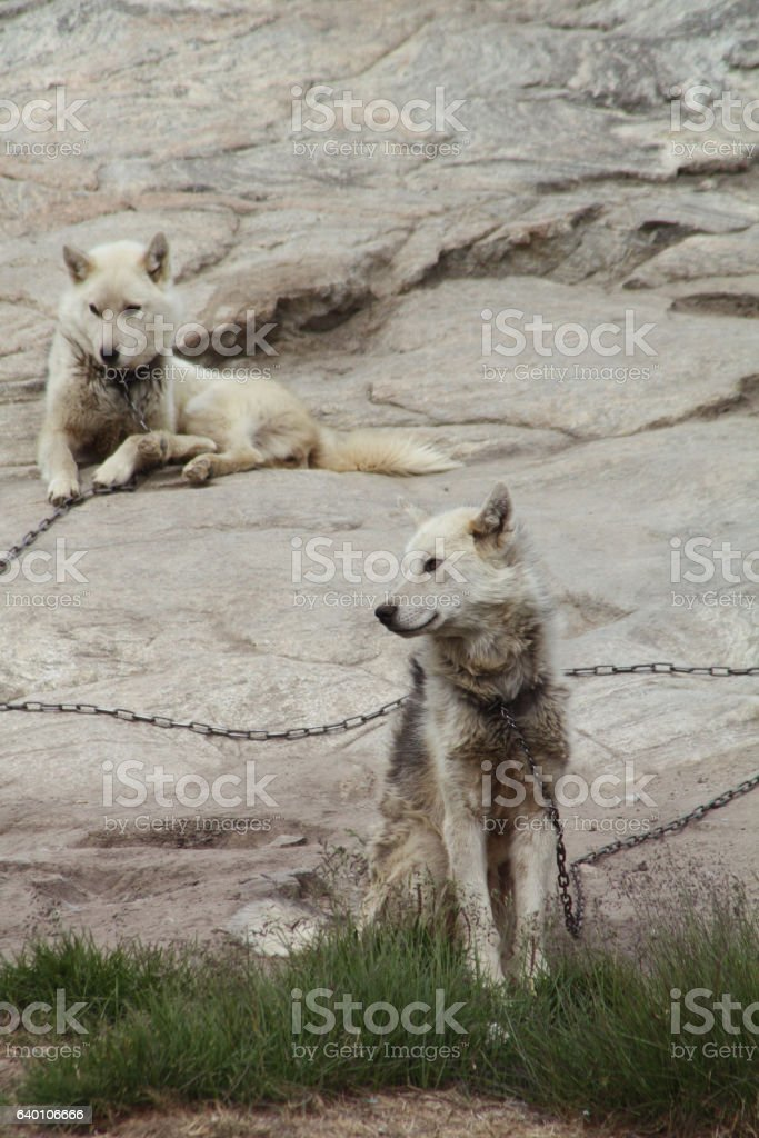 Sled dogs, Greenland stock photo