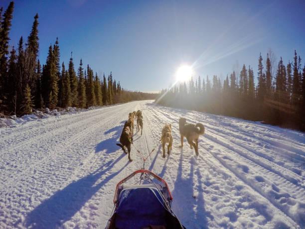Chiens de traîneau en Alaska - Photo