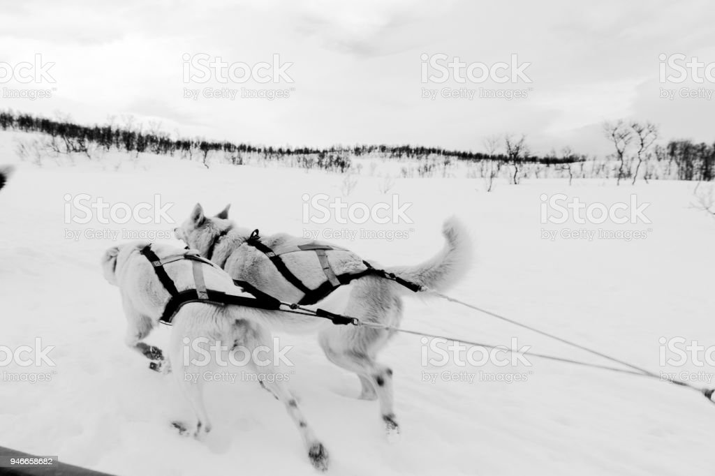Sled Dogs, Norway Tromso stock photo