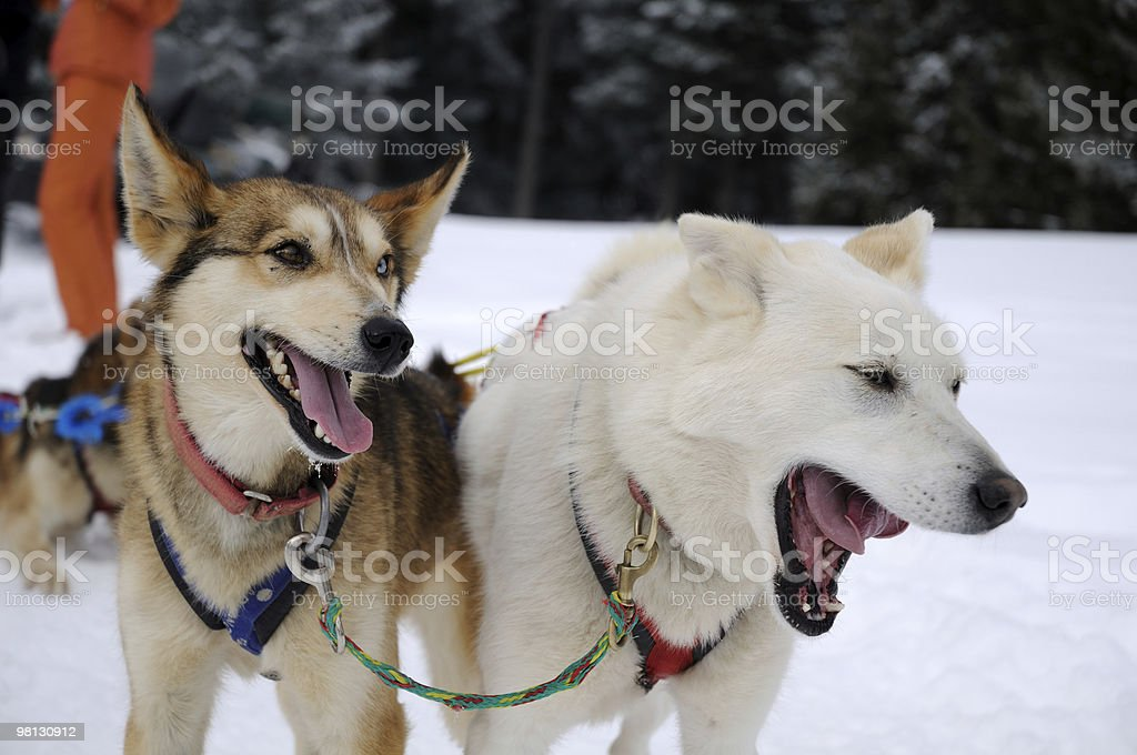 Sled dogs royalty-free stock photo