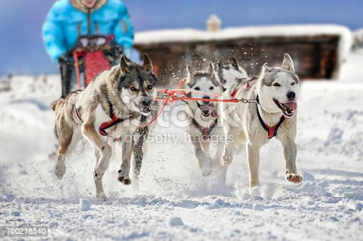 istock Sled dogs pulling musher 700218540
