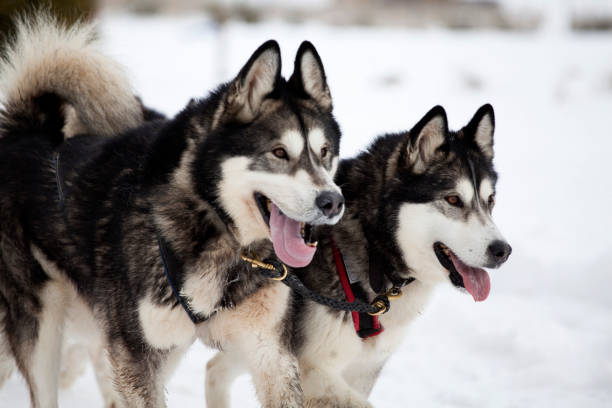 Sledding with husky dogs in Romania Dog-sledding with huskies working animal stock pictures, royalty-free photos & images