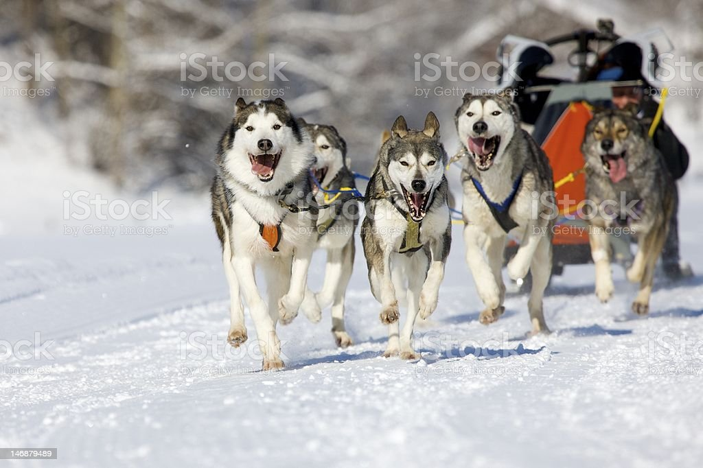sleddog race royalty-free stock photo