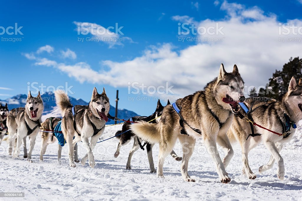 Sledge dogs in speed racing stock photo