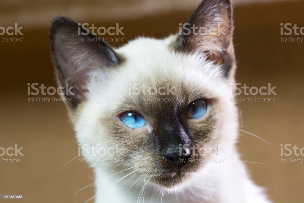 sleek haired kitten of Siamese type (Mekong bobtail) royaltyfri bildbanksbilder