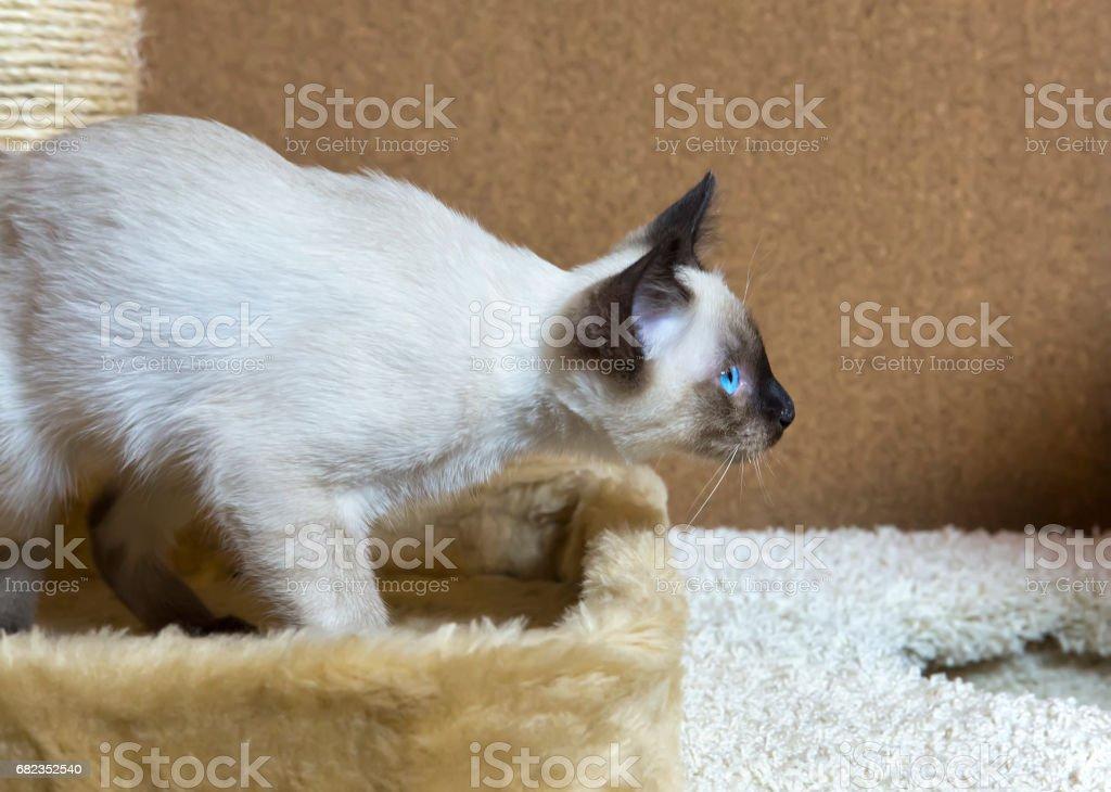 sleek haired kitten of Siamese type (Mekong bobtail) royalty free stockfoto