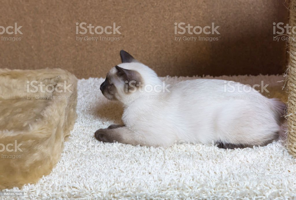 sleek haired kitten of Siamese type (Mekong bobtail, tailless) ロイヤリティフリーストックフォト