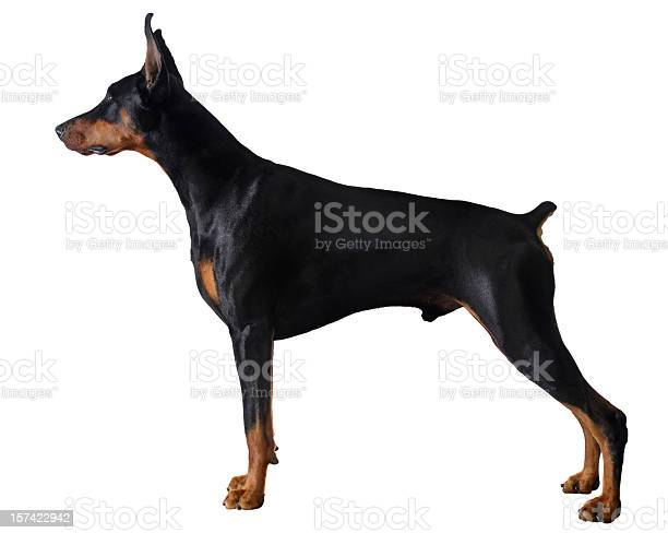 """This is my Doberman Pinscher Lexx, in the """"stacked"""" position, used in dog shows to show the best possible form. He is on a pure white background. Lexx (Real name: Abadie's Return of the King) is a Champion show dog as well."""