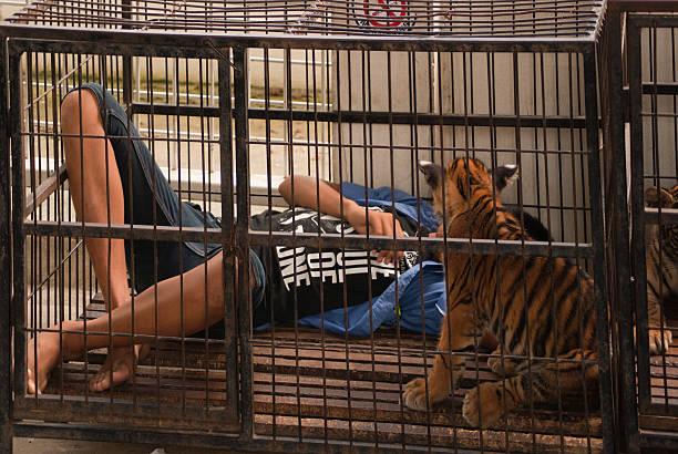 sleep käfig tiger - geparden bettwäsche stock-fotos und bilder