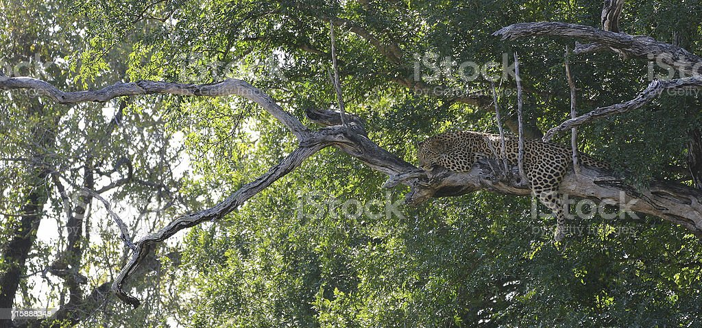 sleep on tree royalty-free stock photo