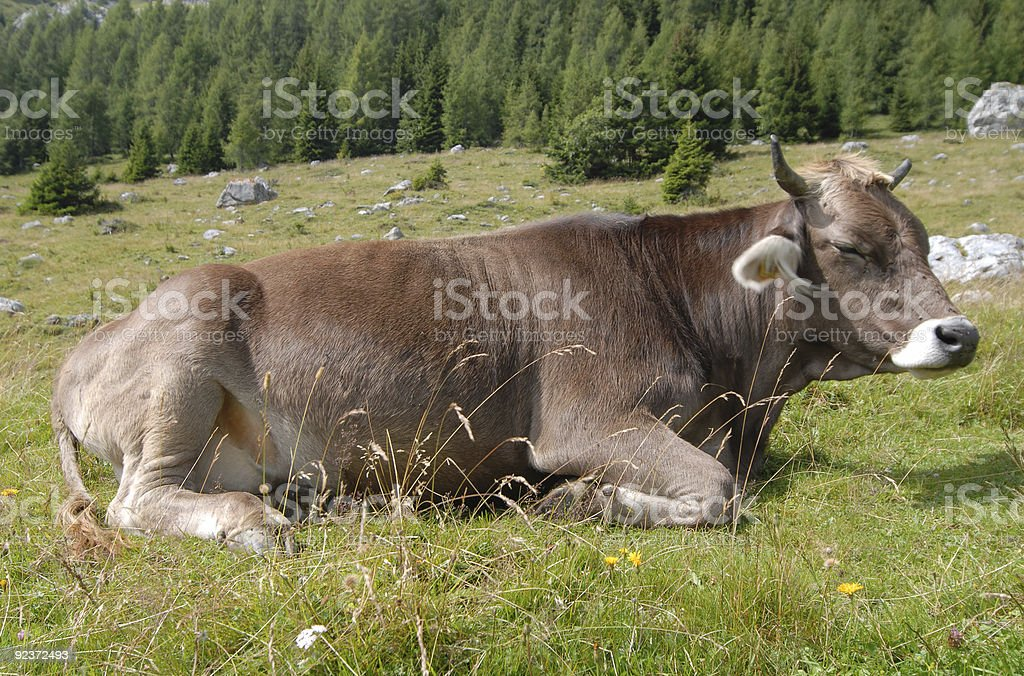 Sleepily Cow royalty-free stock photo