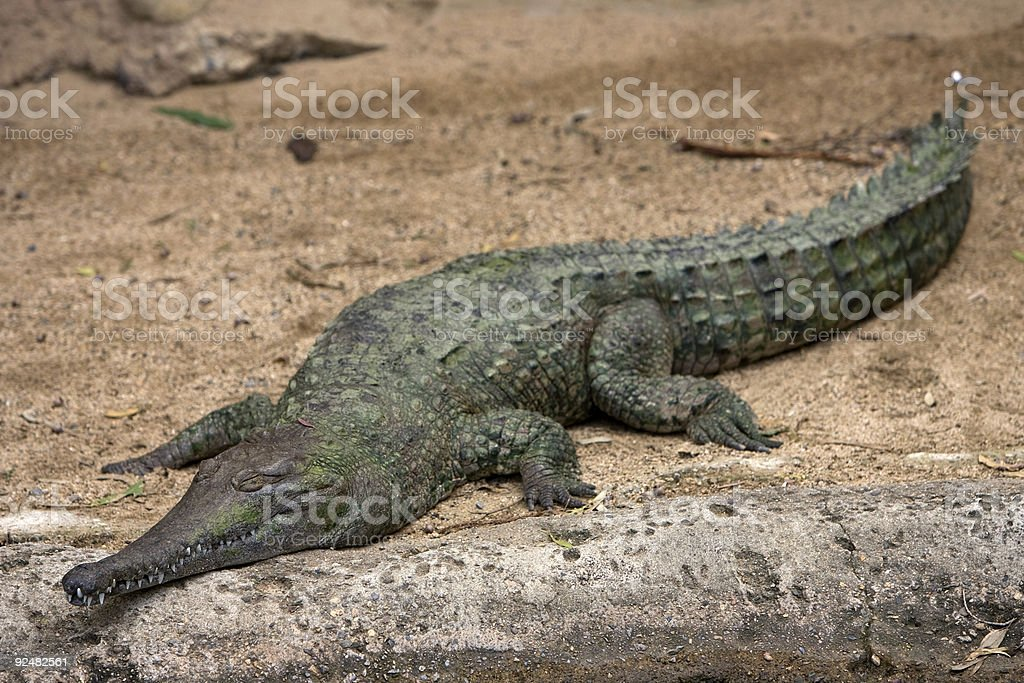 Sleeping alligator royalty-free stock photo